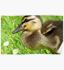 Daisy, Daisy, Give Me Your Answer Do...Duckling - NZ Poster