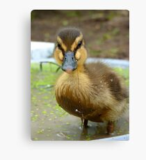 When You Are Up To Your Armpits In Alligators... Mallard Duckling - NZ Canvas Print