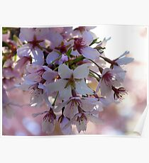 Declare Your Love - Apple Blossoms - NZ Poster