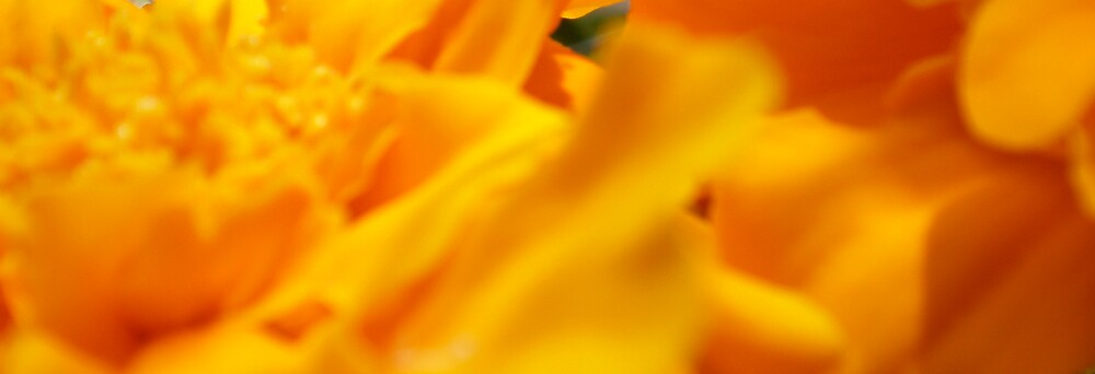 Orange marigolds by Amanda le Bas de Plumetot