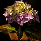 Hydrangea by Country  Pursuits
