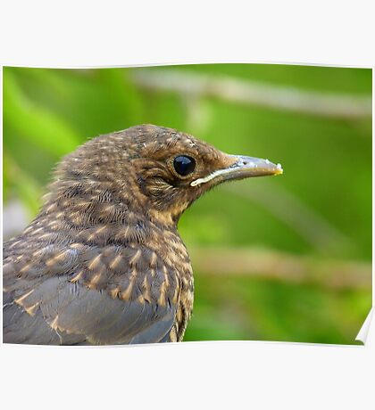 Oops.. Do I Have Egg On My Face? - Fledgling Blackbird - NZ Poster