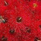 Beautiful Australian Native Eucalyptus Flowers by Joy Watson