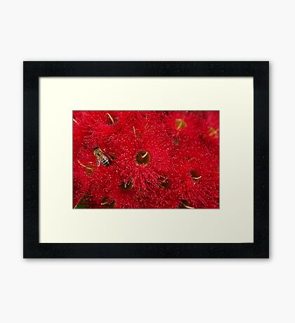 Beautiful Australian Native Eucalyptus Flowers Framed Print
