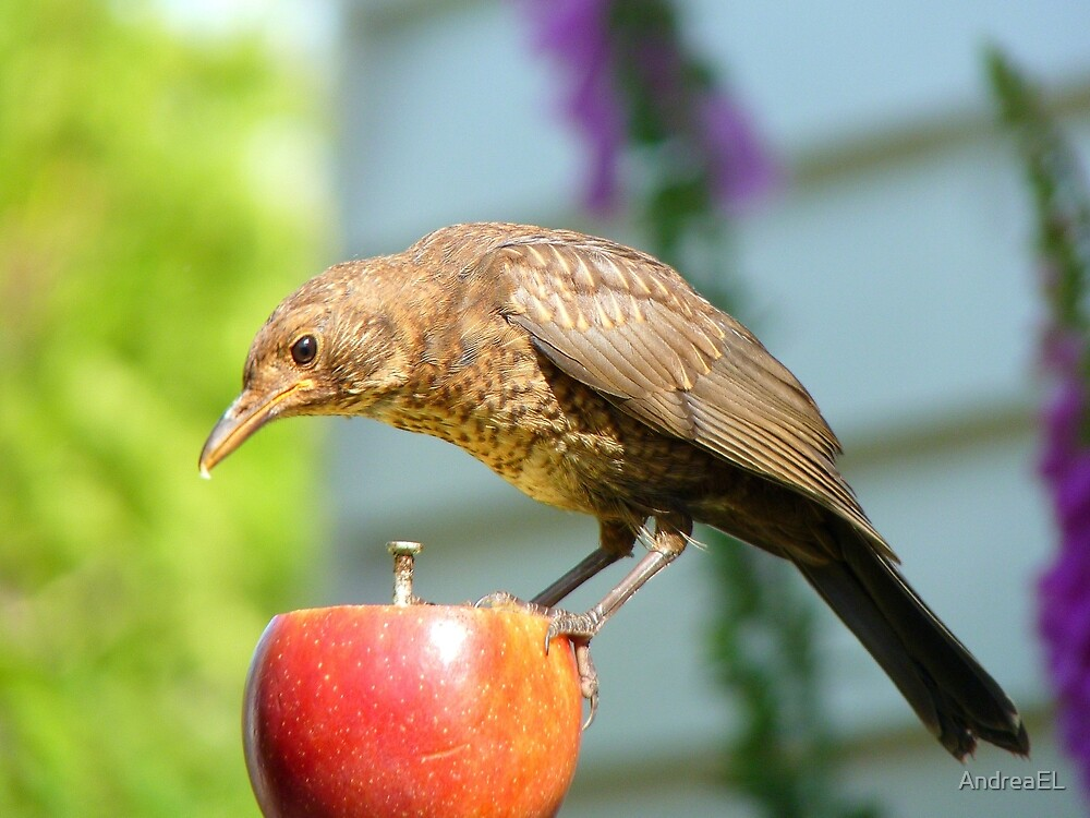 I'm Not In The Mood To Share This One!! - Juvenile Blackbird - NZ by AndreaEL
