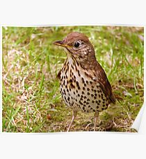 Where's The Best Place To Find Worms In A Drought? - Song Thrush - NZ Poster