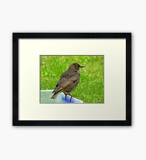 I'll Soon Have Shiny New Clothes To Show Off... - Starling Juvenile - NZ Framed Print