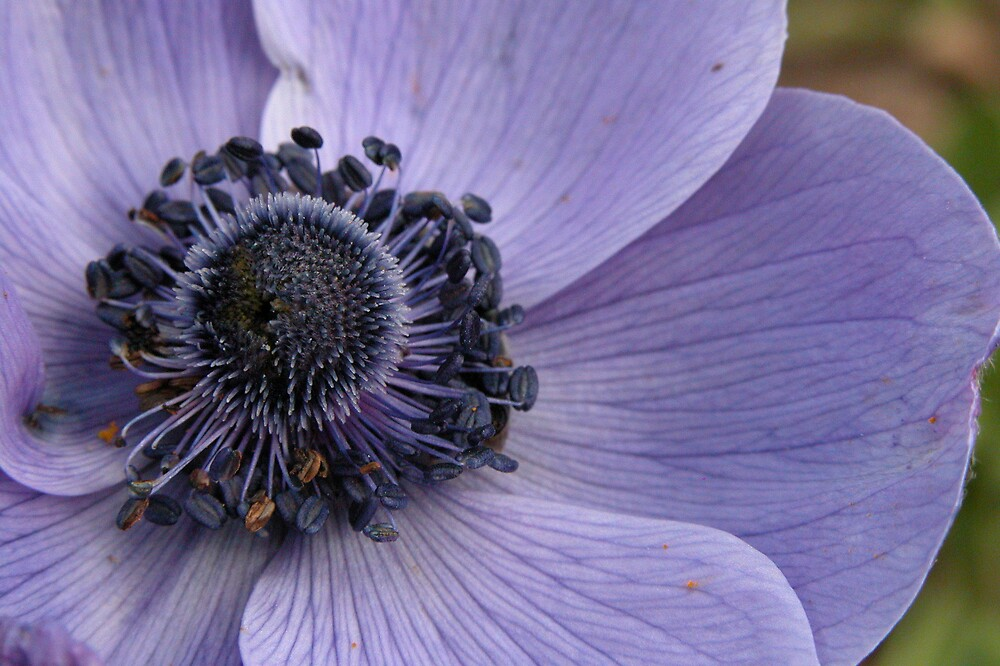 Purple Anenome by Linda Sass