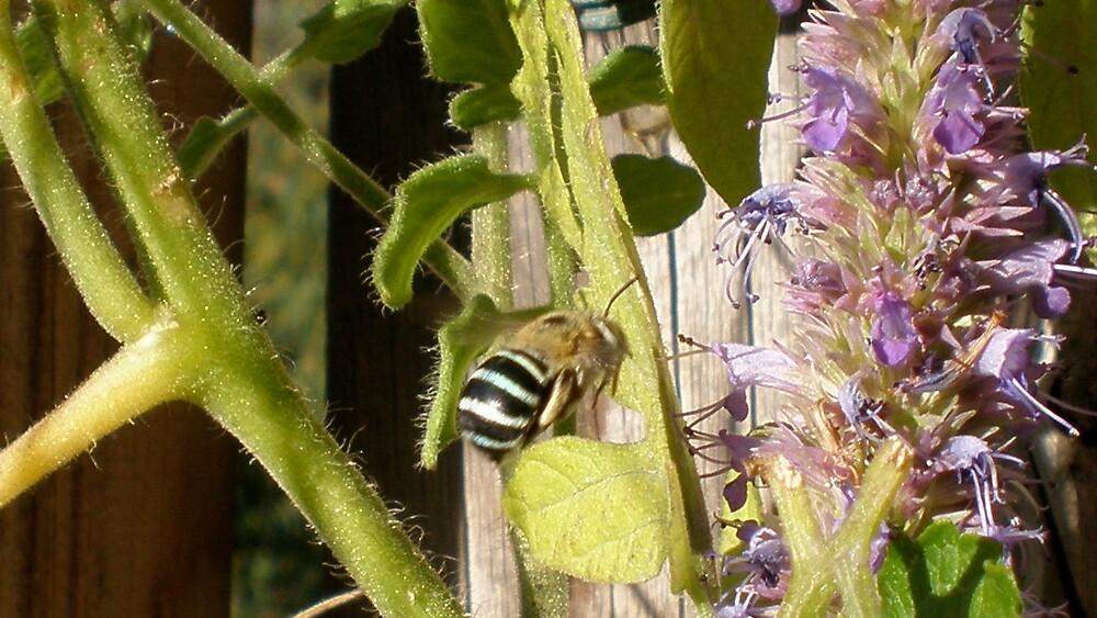 blue banded bee by Amanda le Bas de Plumetot