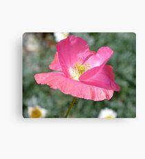 Candy Pop - Pink Poppy - Otago - NZ Canvas Print
