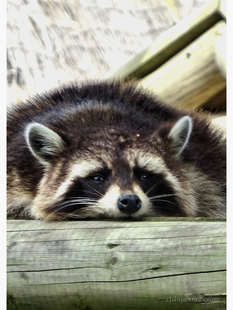 Tired Raccoon by chihuahuashower