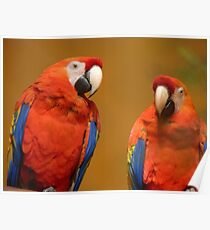 We're A Ravishing Pair... Scarlet Macaws - Otago Poster