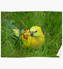 I'm Definitely Not Plain... I'm Opalescent - Opaline Red Rump Parakeet - NZ Poster
