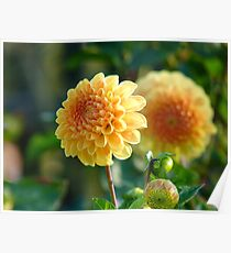 It's An Illusion...Yellow Dahlia - NZ Poster