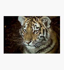 Sumatran Tiger Cub Photographic Print
