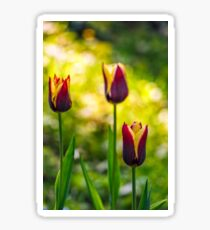 tulip with stripe on shady glade Sticker