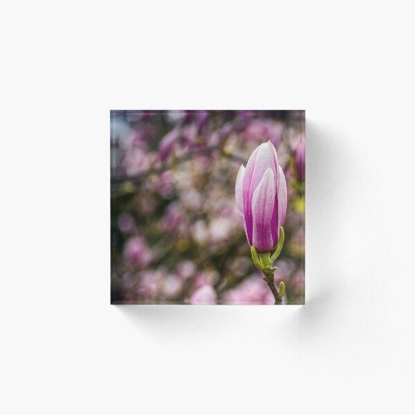 Magnolia flower blossom in springtime Acrylic Block