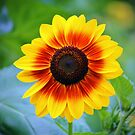 Yellow Red Sunflower by Cynthia48