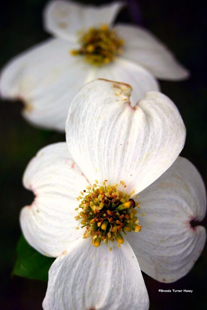 Dogwood Blossoms by Brenda Haney