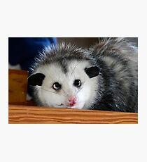 Baby Possum Photographic Print