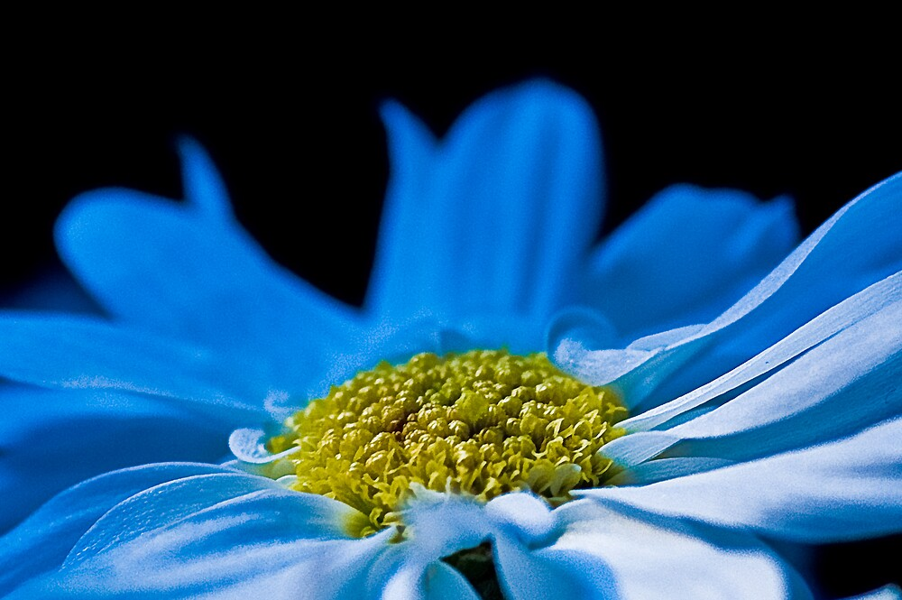 White flower gone blue by frccle