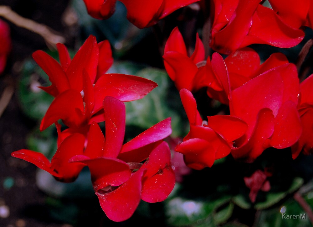 Red Cyclamen by KarenM