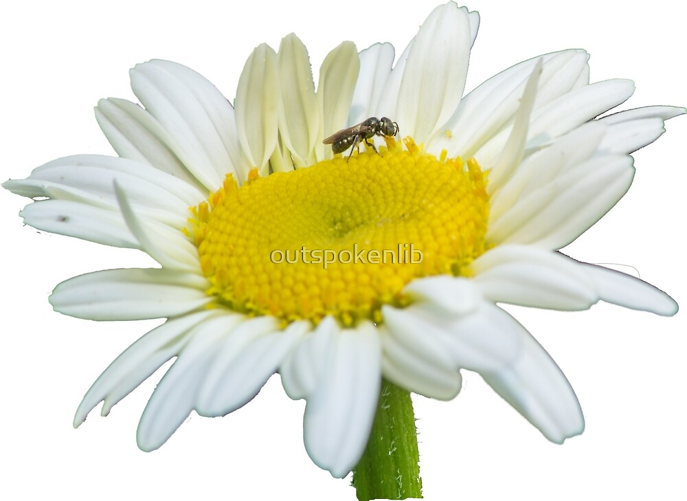 Daisy with bug by outspokenlib