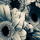 Vintage Gerber Daisies  by Jacqueline Cooper