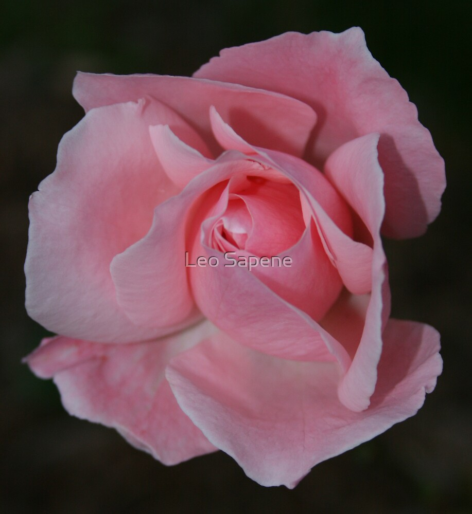La Rosa by Leo Sapene