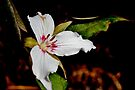 Painted Trillium IV by Kathleen Daley