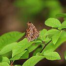 Eastern Comma Butterfly by hummingbirds