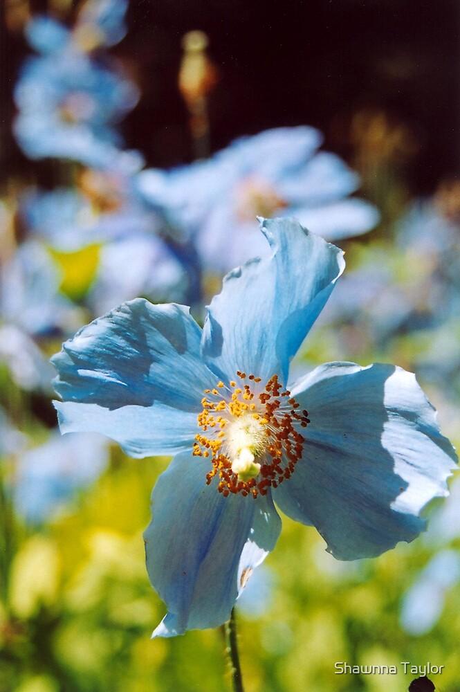 Field Of Poppies - Tibetan Blue Poppy by Shawnna Taylor