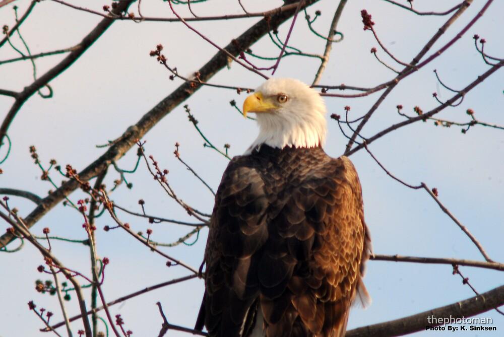 American Bald Eagle by thephotoman