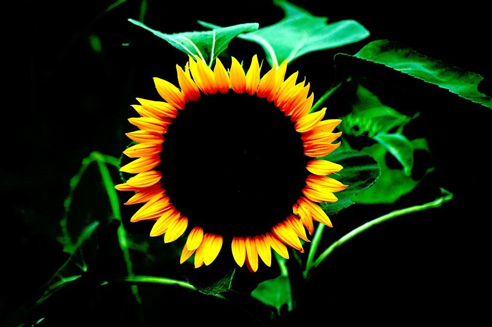 Sunflower Eclipse by DaraDrake