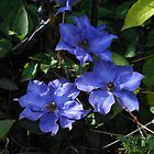 Blue Clemetis Blossoms by SunriseRose
