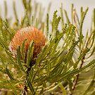 Banksia WA02 by Werner Padarin