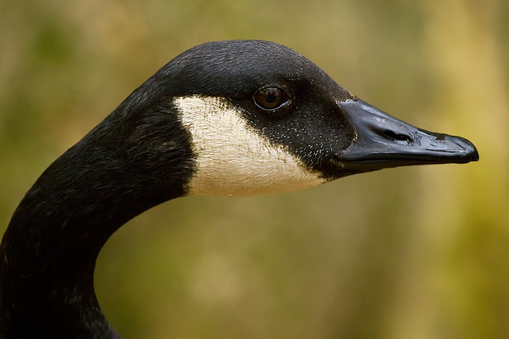 Canada Goose by Margaret Barry