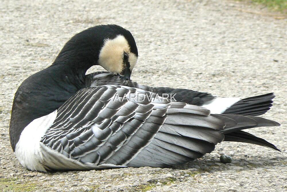 A Barnacle Goose by AARDVARK