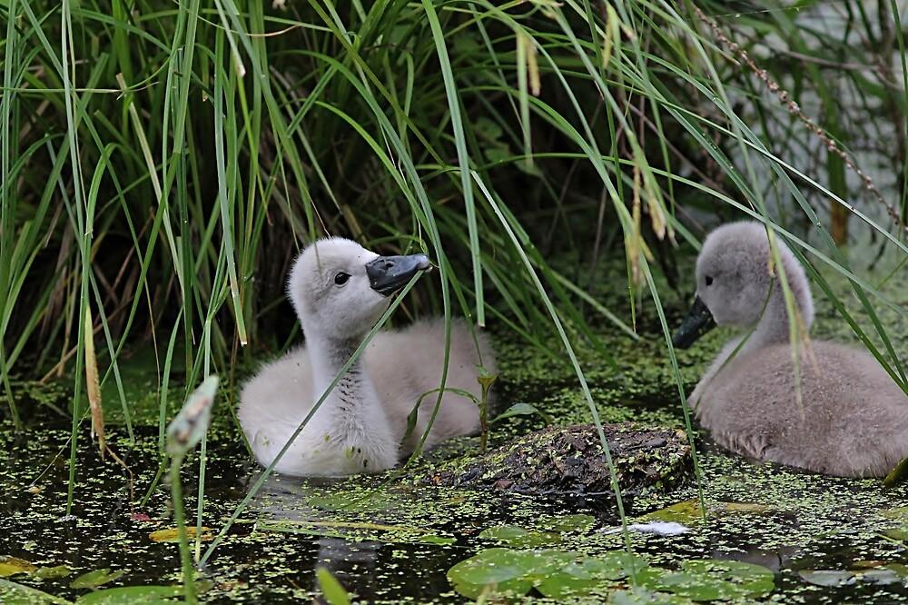 This looks tasty - cygnets in a pond by Linda Crockett