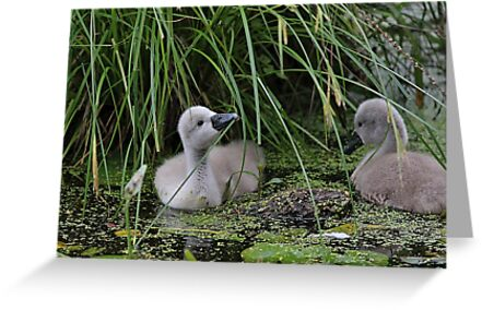 This looks tasty - cygnets in a pond by Linda Crockett