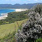 Flowering Manuka above the beach........ ! by Roy  Massicks