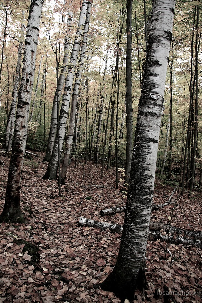 birches by lucamaphoto
