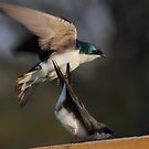 Tree Swallows mating #2   by Kane Slater
