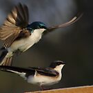 Tree Swallows mating #4  by Kane Slater