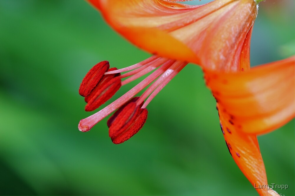 Lily...Come Dance with Me by Larry Trupp