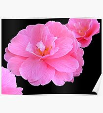 Pink Camellias Poster