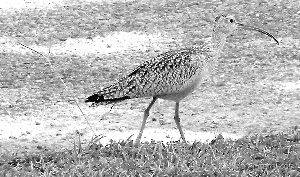 Curlew Black & White by POETRY508