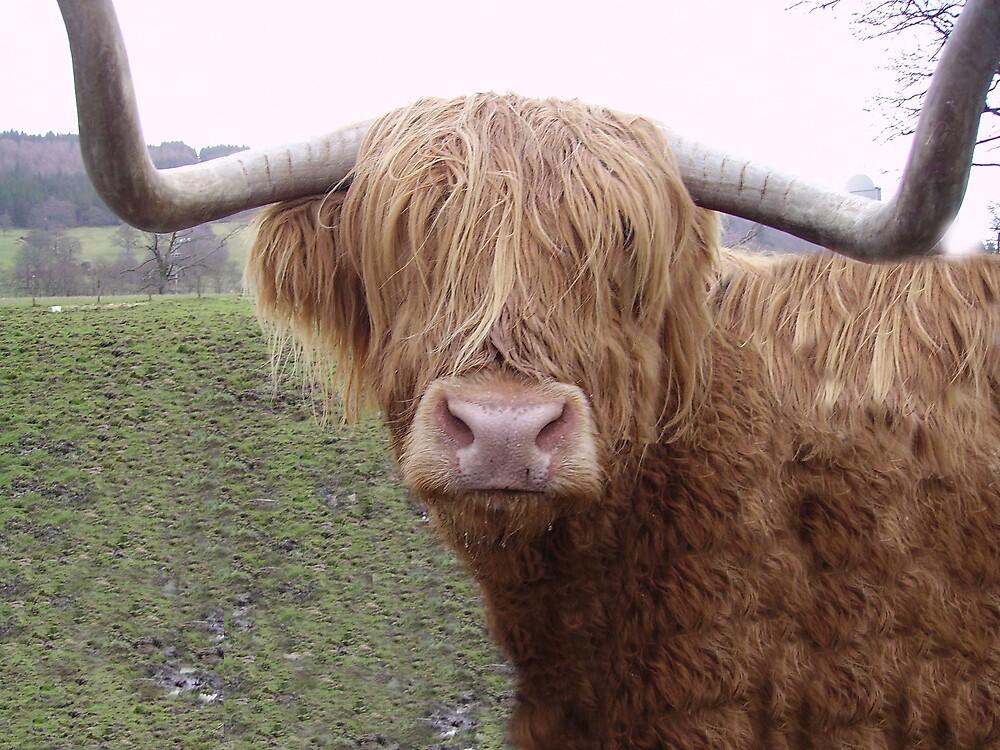 14Yr Old Scottish Highland cow  by Daniel Knights