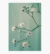 Gypsophila Photographic Print