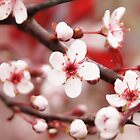 Pink Cherry Blossoms by Tina Hailey